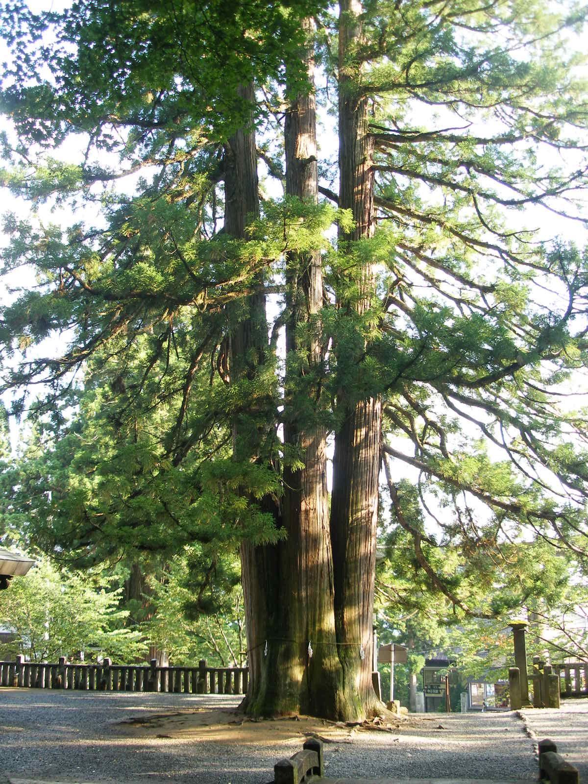 大きな杉 鳥居を三角形に囲む大きな杉が三本たっています この写真は、三... namiumi ナ